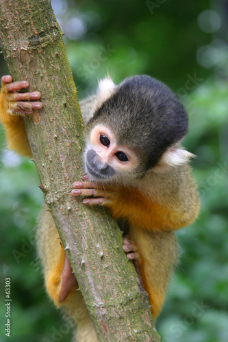 Canvas Print squirrel monkey
