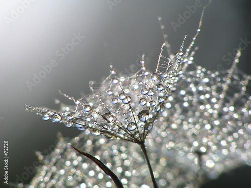 waterdrops on dandelion #72728