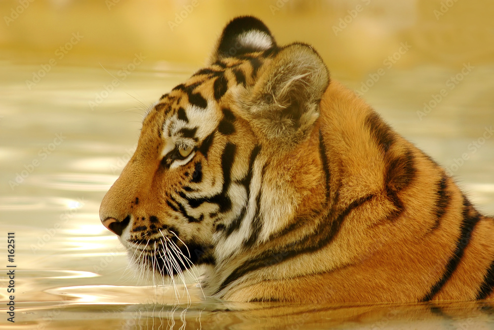 tygrys w wodzie <span>plik: #162511 | autor: Zian</span>