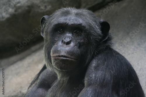 Photo soulful chimp