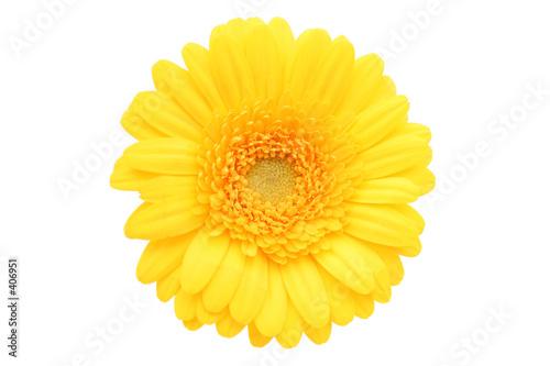 Obraz na plátně gerbera daisy