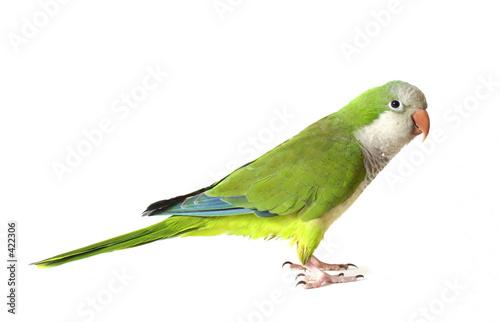 Fotografia quaker parrot