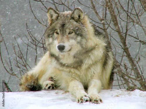 Fototapeta loup gris sous la neige