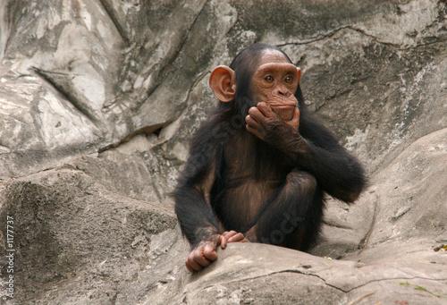 Valokuva little chimpanzee