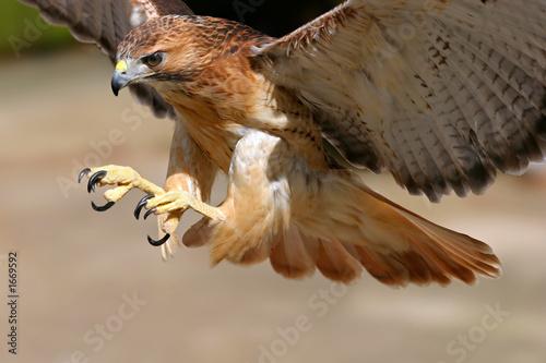 Canvas-taulu hawk attack