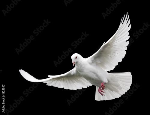 white dove in flight 6