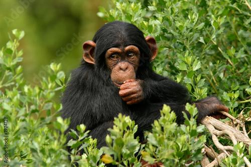 chimp Fototapeta