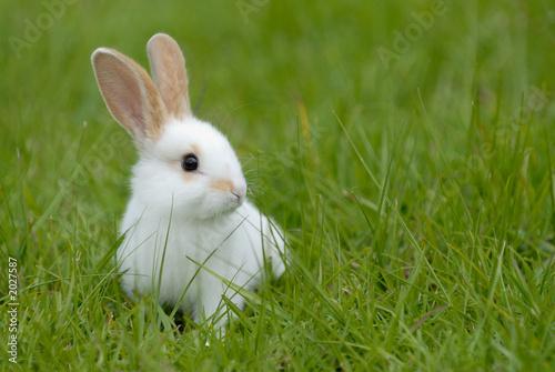 Fotografering white rabbit on the grass