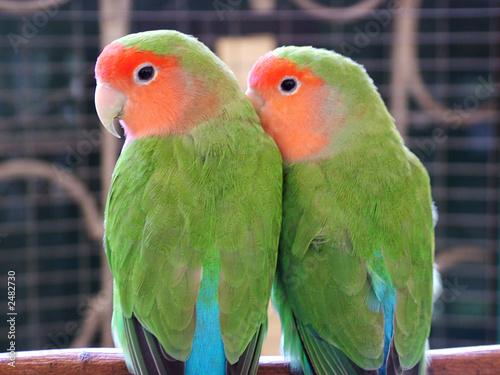 Stampa su Tela lovebird parrots