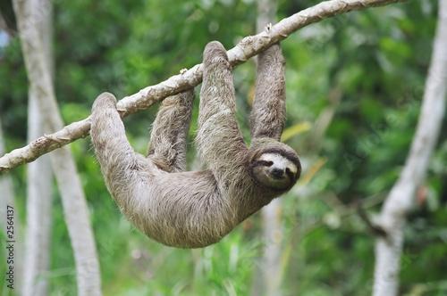 Photo sloth in panama