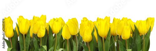 Fototapeta premium linia żółtych tulipanów