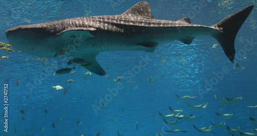 whale shark #2741752
