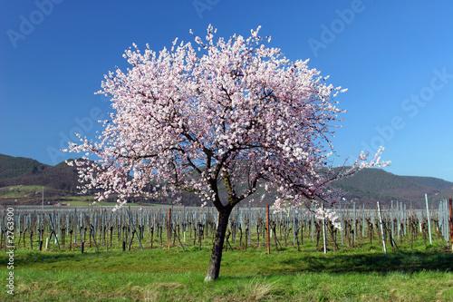 almond tree in full blossom Fotobehang