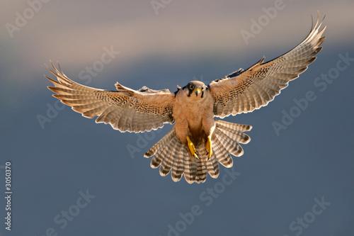 Fototapeta lanner falcon landing