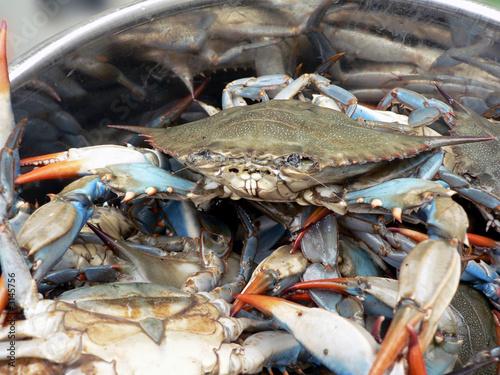 crab - blue crabs in pot 2