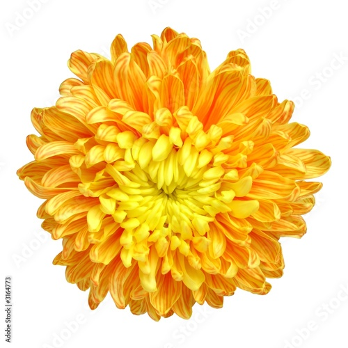 Tableau sur Toile chrysanthemum - 1