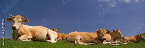 Obraz na plátne les vaches au soleil
