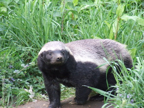 Tablou Canvas honey badger