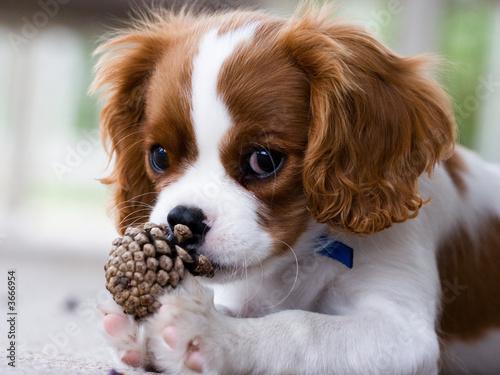 Valokuvatapetti Cavalier King Charles Spaniel Puppy
