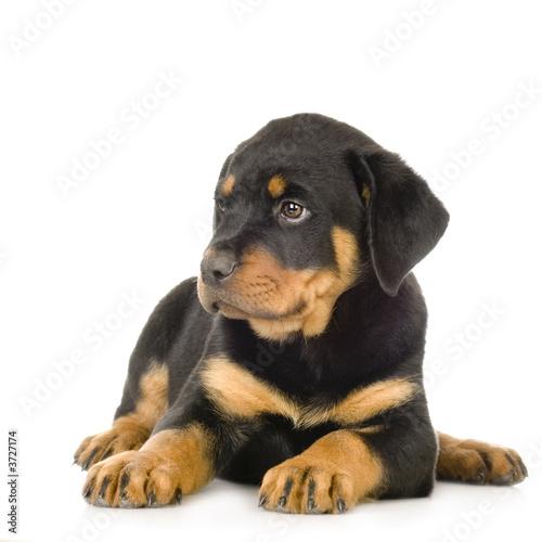 Obraz na plátně Rottweiler in front of a white background