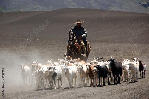 Stampa su Tela herdsman and goats near vulcan antuco in patagonia