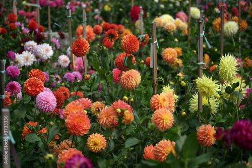 Fotografiet Garden of Dahlias