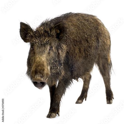 Fotografia, Obraz wild boar in front of a white background