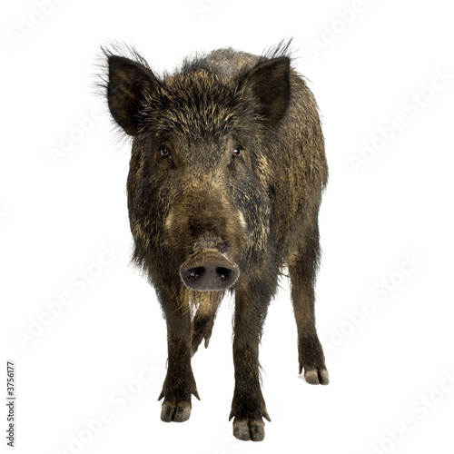 wild boar in front of a white background Poster Mural XXL