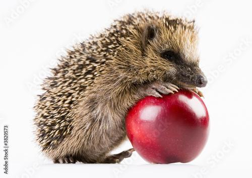 Happy hedgehog Fototapet