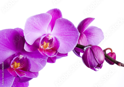 Photo purple orchid on the white background