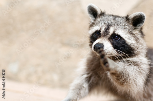 Canvas Print a raccoon wishing to make true friends