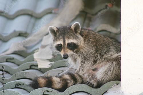 Fototapeta Raccoon on a Roof