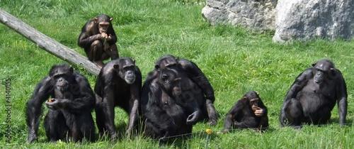Valokuva chimpanzés famille