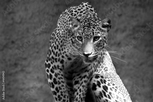 leopard bw