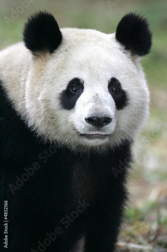 Canvas Print Giant Panda Bear