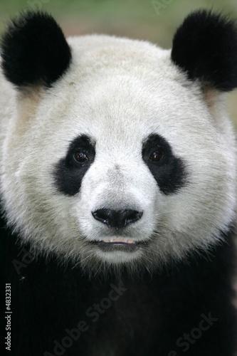 Fototapeta Giant Panda Bear