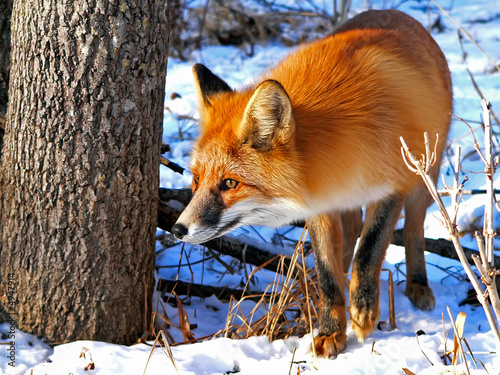 Canvas Print Red Fox 34