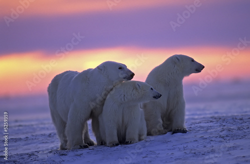 Canvas Print Polar bear with her cubs in Canadian Arctic sunset