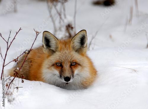 Fototapeta Winter Fox