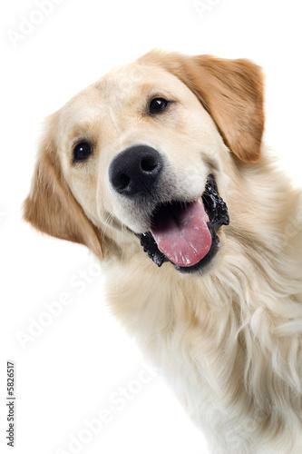 Fotografia golden retriever portrait dog isolated on a white background