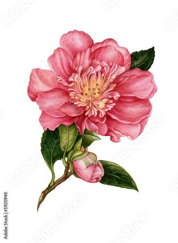 Obraz na plátne The flower of camelia drawn by watercolour paints. Artwork