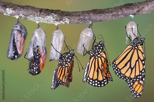 Fototapeta Monarch emerging