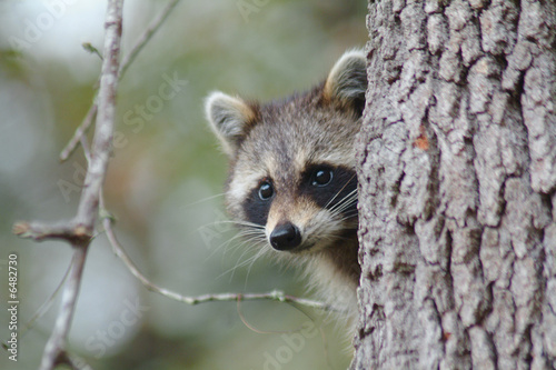 Canvas Print wild raccoon