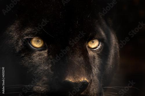 Fototapeta black panther