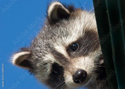 Fototapeta Baby raccoon peeking from the roof