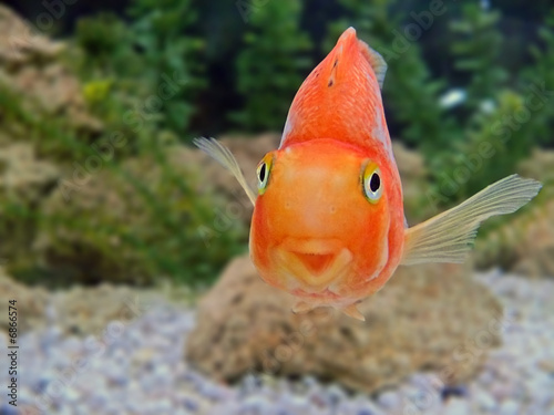 Obraz na plátne gold fish smile close-up humor on a face tropical underwater