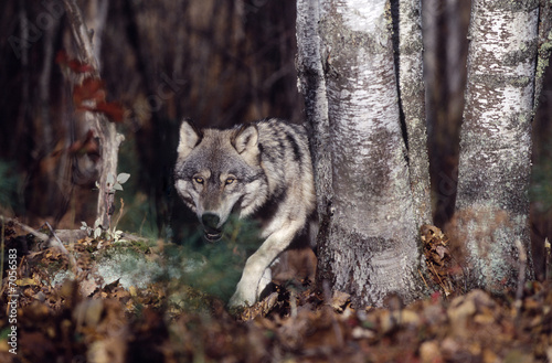 Gray wolf in forest #7056583