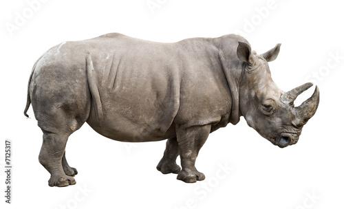 Fotografia White rhino old male cutout