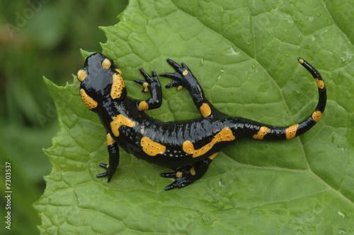 Salamander lizard on a leaf