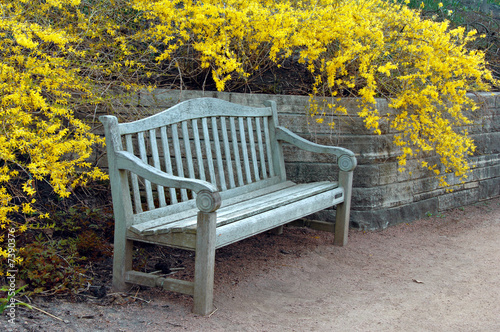 Slika na platnu Bench with Forsythia Blooming